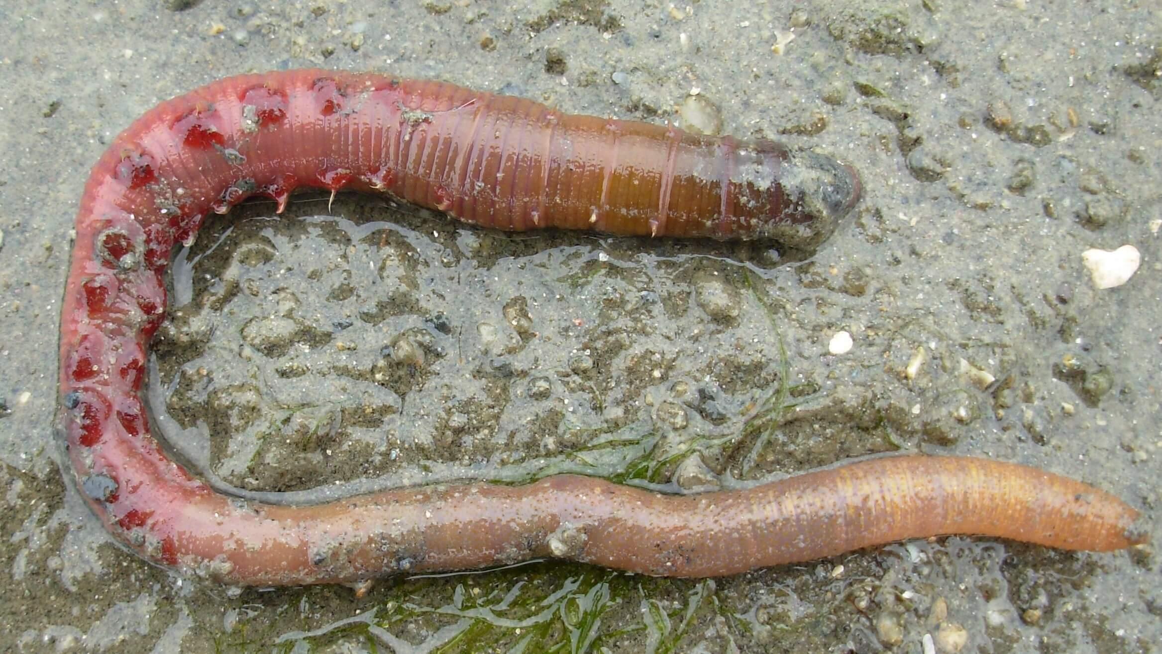 Arenicola marina, zu deutsch: Wattwurm