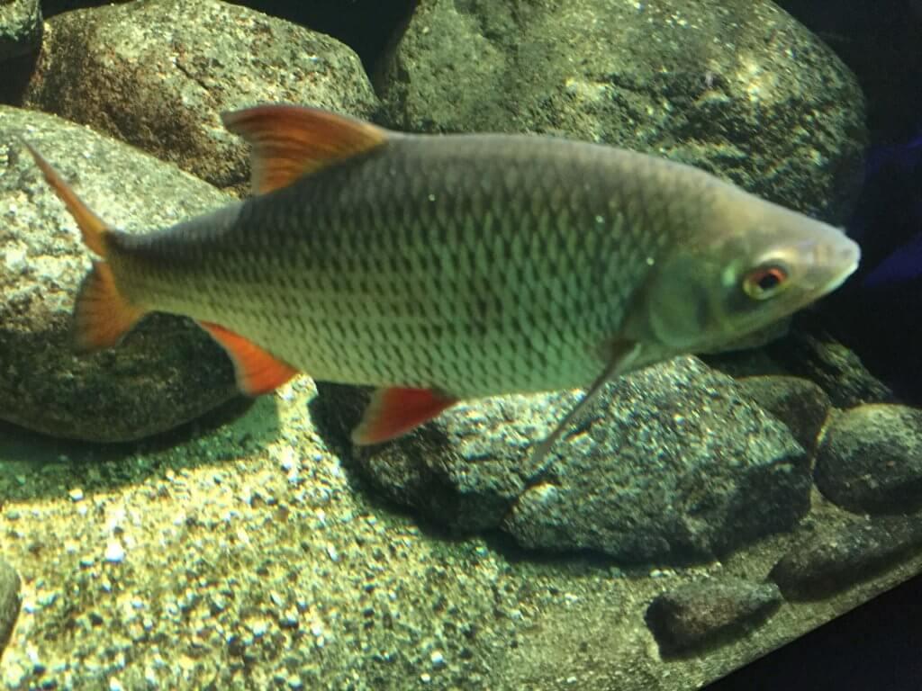 Fische im Gartenteich - wie Rotaugen - können auch Nützlinge bei der Eindämmung der Mückenplage im Gartenteich sein