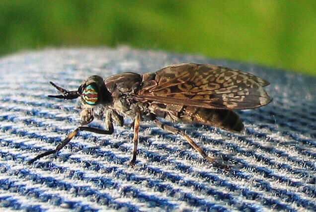 Feuchtgebiete sind eine perfekte Lebensgrundlage von Mückenlarven. Auch stechwütigen Bremsen begegnet man hier leider oft (Bild: anonym, Bremse Tabanidae, CC BY-SA 2.5)