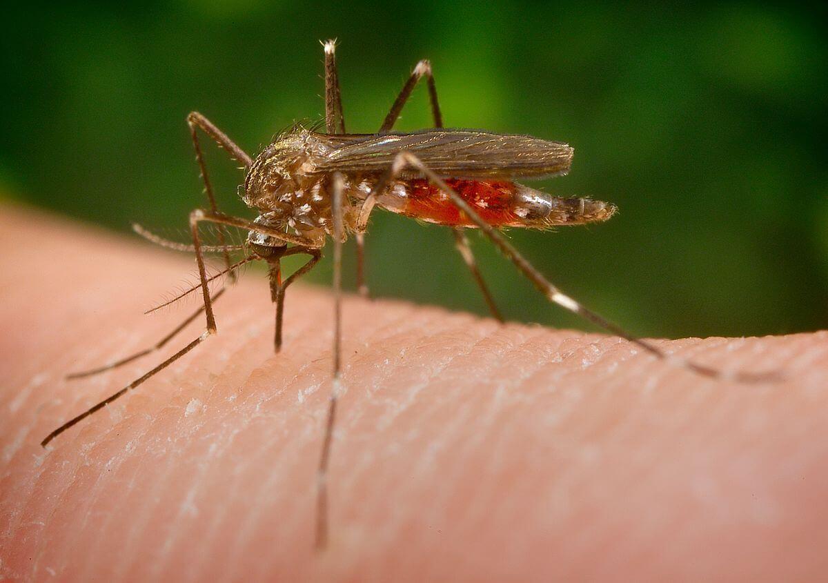 Selbst bei Regen sind Kollisionen mit Regentropfen kein Hindernis für Mücken, wenn sie hungrig sind.