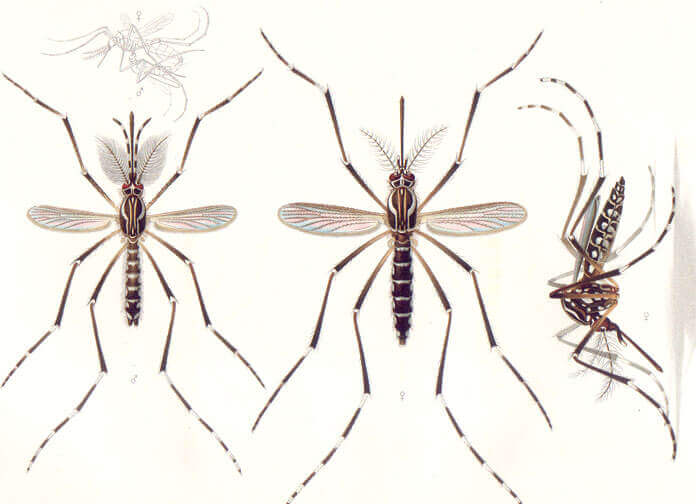 Nur die weiblichen Mücken beißen uns, die männlichen ernähren sich von Pflanzenzucker.
