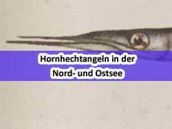 Bild_00_Hornhecht-angeln-2020