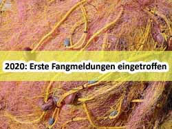 13_Erste-Fangmeldungen-Hering-Ostsee-Fischer-2020_dorsch-guide.de