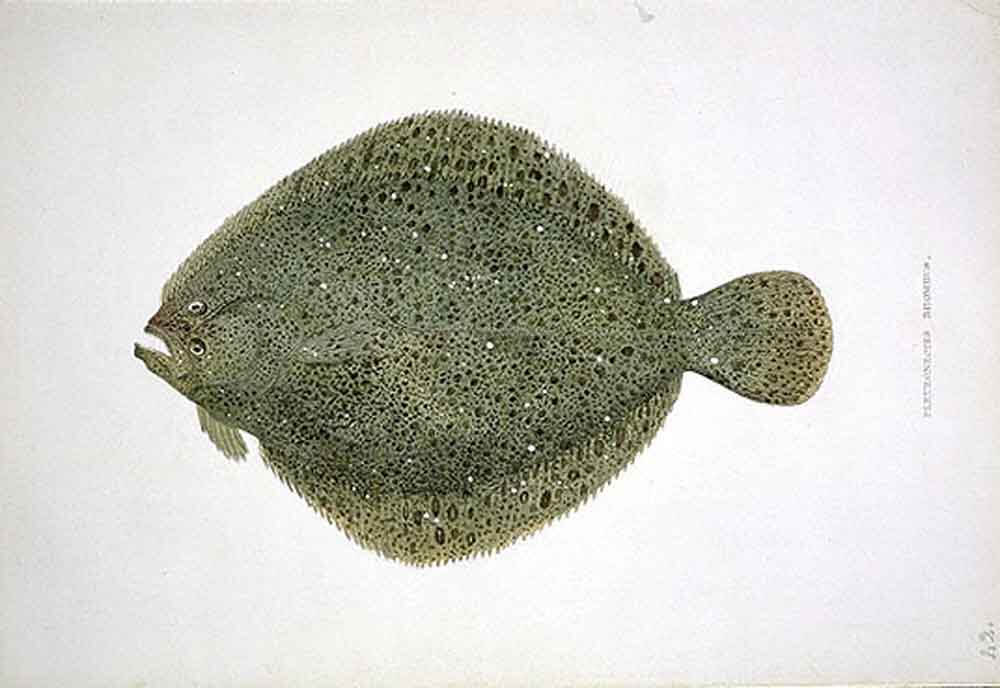 """<a title=""""MacGillivray / Public domain"""" href=""""https://commons.wikimedia.org/wiki/File:Scophthalmus_rhombus-trans.png""""><img width=256 alt=""""Scophthalmus rhombus-trans"""" src=""""https://upload.wikimedia.org/wikipedia/commons/a/a1/Scophthalmus_rhombus-trans.png""""></a>"""