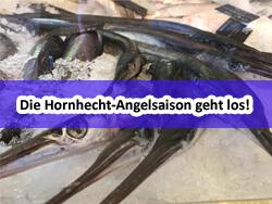 Bild_03_Hornhecht-angeln_Hornhechtangeln_Ostsee und Nordsee 2020